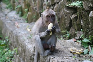Monkey Eating Banana At Monkey Forest